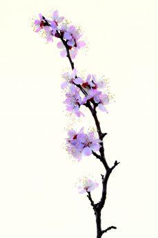 signification de la fleur de cerisier du japon et des fleurs. Black Bedroom Furniture Sets. Home Design Ideas