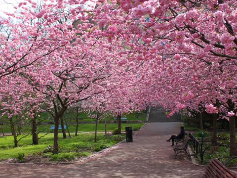 la fleur du cerisier du japon et des fleurs. Black Bedroom Furniture Sets. Home Design Ideas