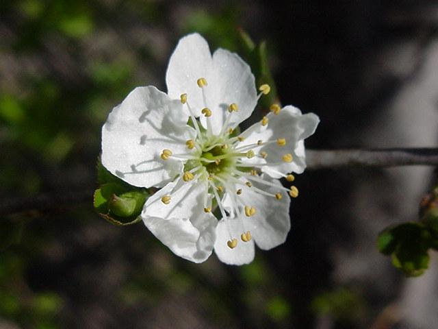 fleur du cerisier du japon et des fleurs. Black Bedroom Furniture Sets. Home Design Ideas