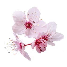 fleur de cerise du japon et des fleurs. Black Bedroom Furniture Sets. Home Design Ideas
