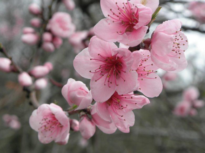 fleur sakura du japon et des fleurs. Black Bedroom Furniture Sets. Home Design Ideas