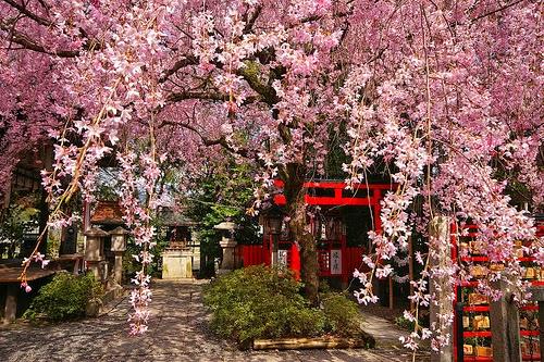 periode cerisier japon