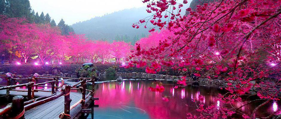 Cerisier au japon du japon et des fleurs - Dessin arbre japonais ...