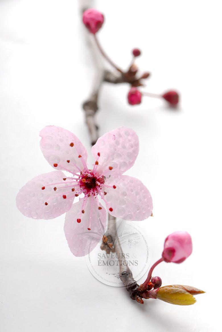 Fleur de cerisier japonais signification galerie tatouage - Signification fleur de lys ...