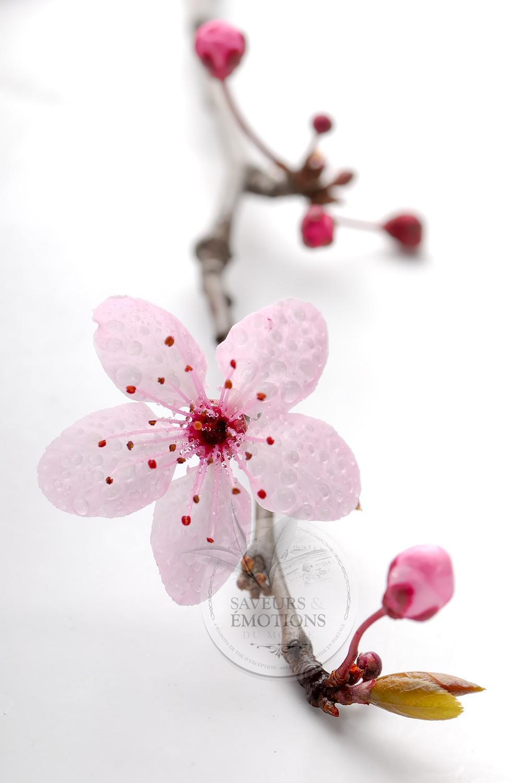 photos cerisiers japonais fleurs du japon et des fleurs. Black Bedroom Furniture Sets. Home Design Ideas