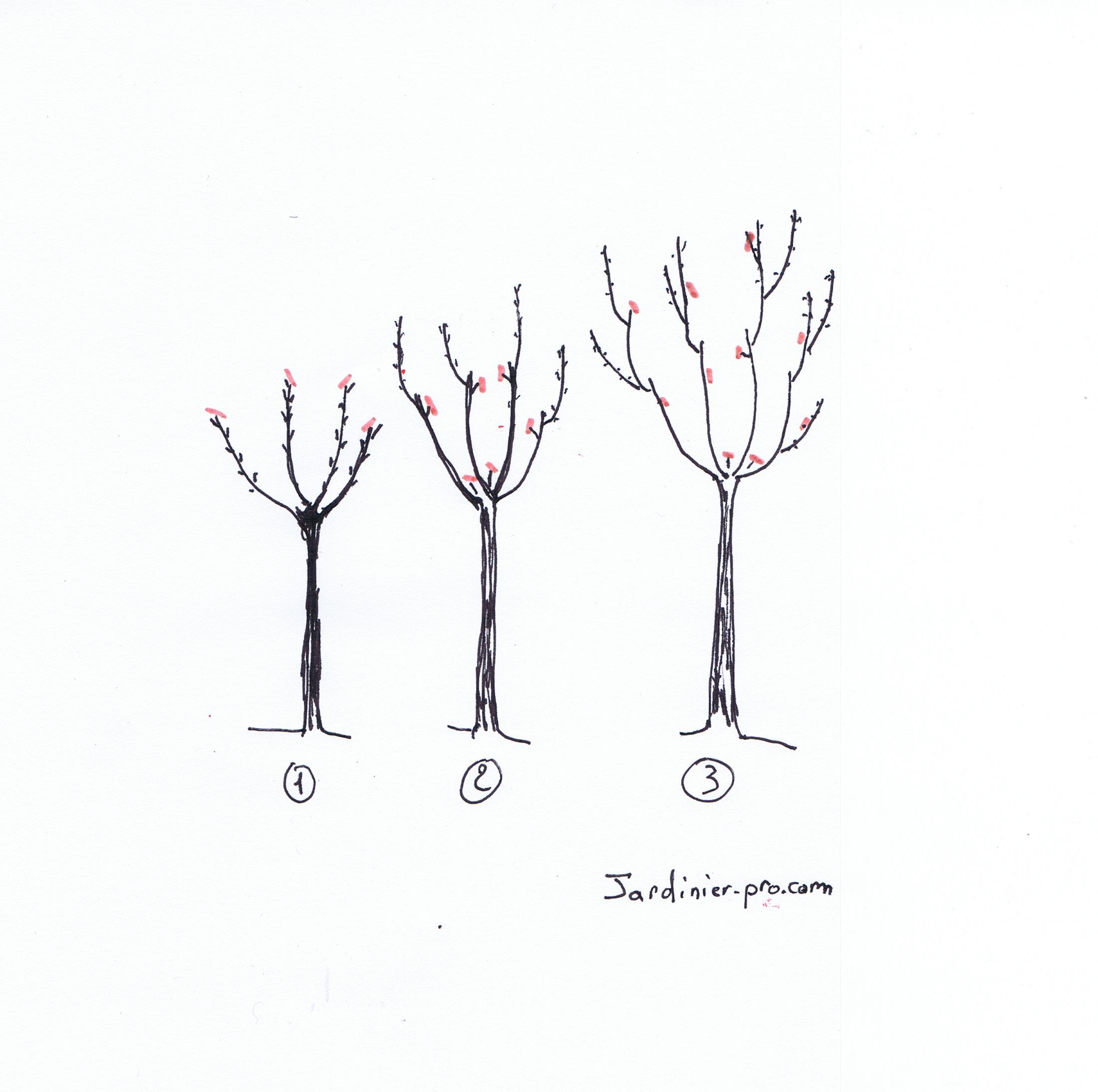 Cerisier du japon croissance du japon et des fleurs - Taille des lauriers fleurs ...