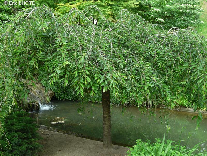 Prunus Pleureur Du Japon Et Des Fleurs