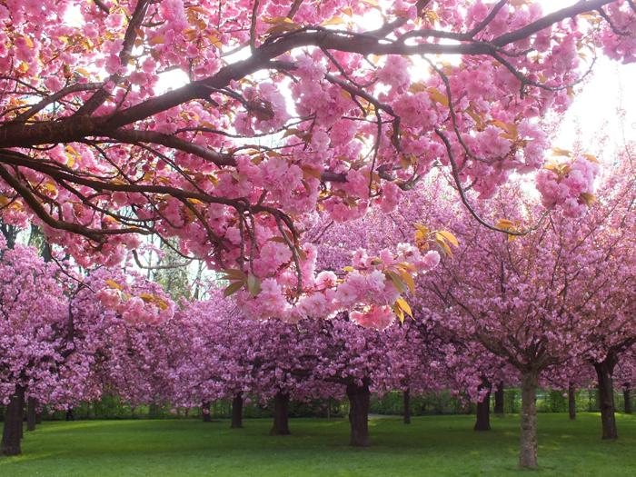 Floraison des cerisiers du japon et des fleurs - Fleurs roses de printemps ...