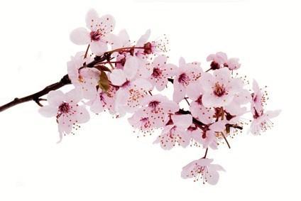 Fleur Cerisier Japonais Du Japon Et Des Fleurs