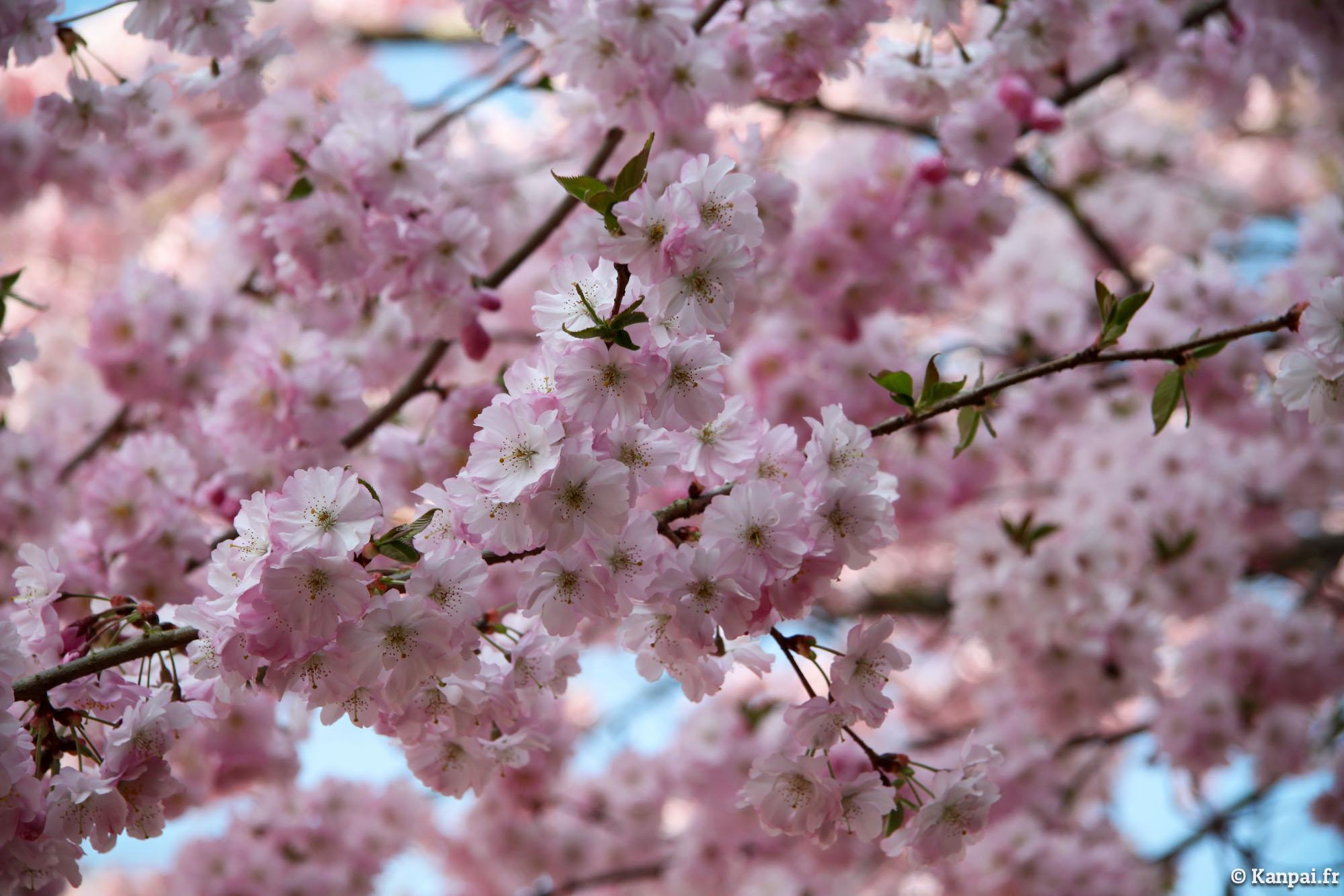 photos de cerisiers du japon en fleurs du japon et des fleurs. Black Bedroom Furniture Sets. Home Design Ideas