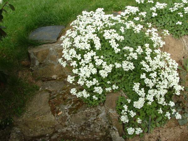 fleurs de rocailles vivaces blanches du japon et des fleurs. Black Bedroom Furniture Sets. Home Design Ideas