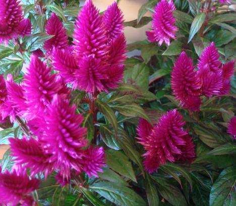plante vivace plumeau du japon et des fleurs. Black Bedroom Furniture Sets. Home Design Ideas