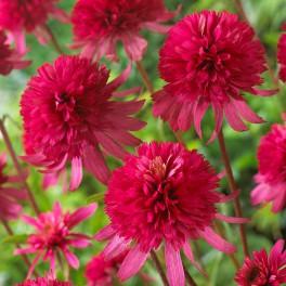 vivace ete soleil du japon et des fleurs. Black Bedroom Furniture Sets. Home Design Ideas