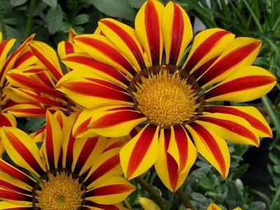 Fleur Vivace Jaune Orange Du Japon Et Des Fleurs