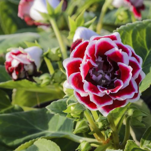 Plante A Fleur Vivace Du Japon Et Des Fleurs