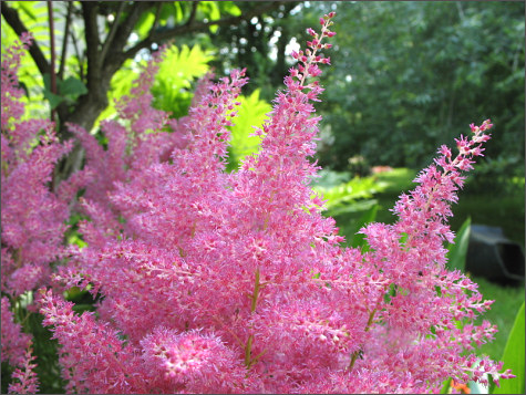 plante fleurie jardin du japon et des fleurs. Black Bedroom Furniture Sets. Home Design Ideas