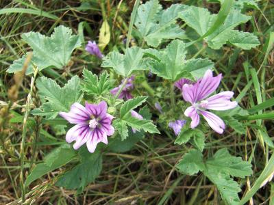 Mauve plante vivace - du japon et des fleurs