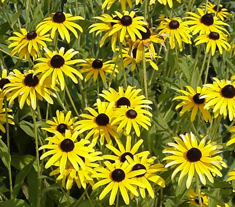 vivace jaune fleur du japon et des fleurs