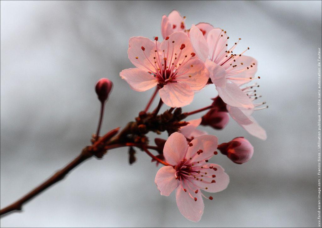 Couleur fleur cerisier - du japon et des fleurs